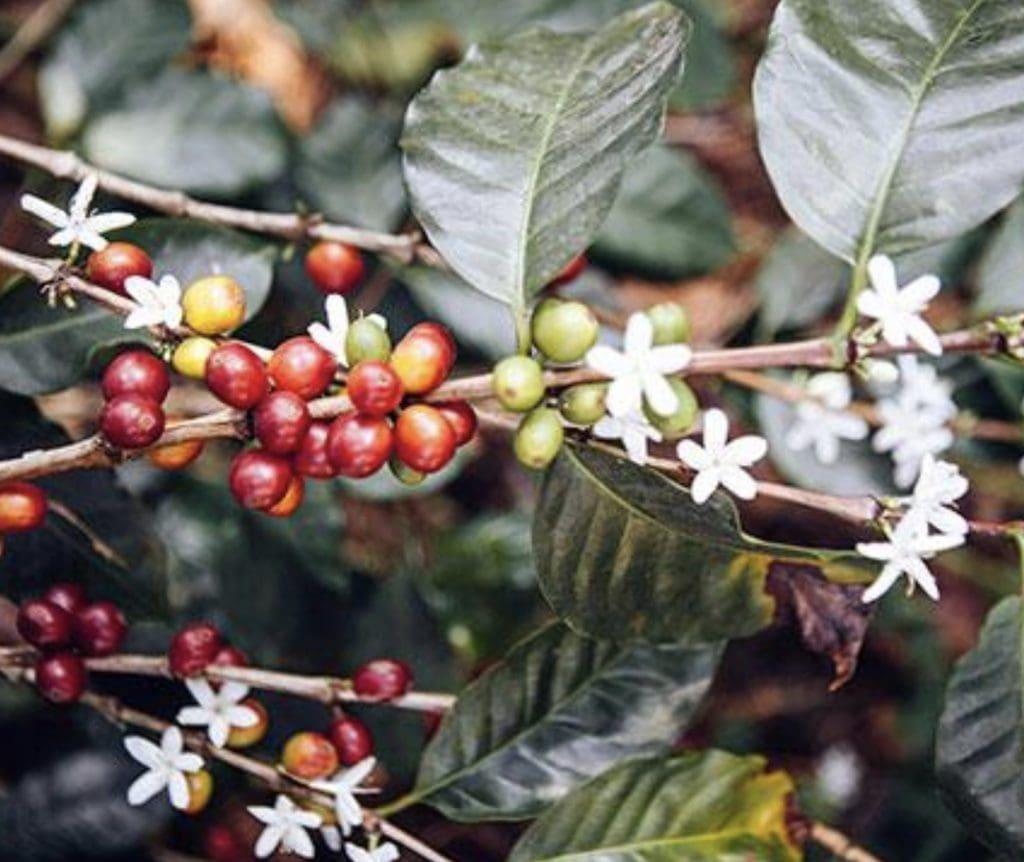 Four Sigmatic Mushroom Coffee tree