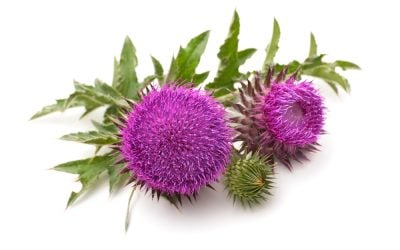 Best Milk Thistle Supplements – 4 Recommended Choices