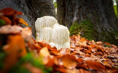 Benefits Of Lion's Mane – What Can This Mushroom Do For You?